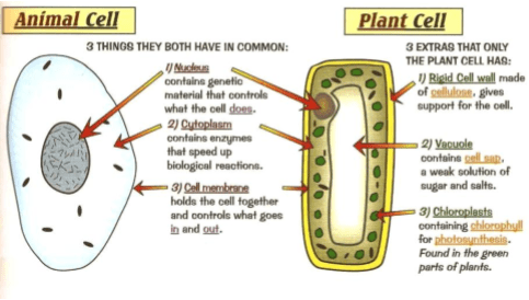 Cell structure and organisation a biology fig10 basic structures of an animal cell and a plant cell ccuart Gallery