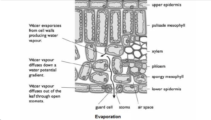 Movement of Water and Minerals in the Xylem • A* Biology