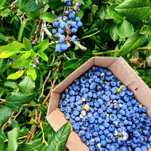Where to go blueberry picking in Quebec