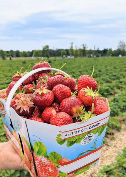 Where to go strawberry picking in Quebec