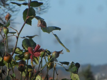 Rose buds unopened with vibrancy from a distance