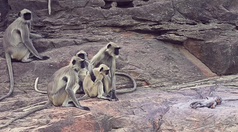 Monkeys Grieve Over Fake Monkey