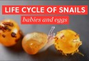 Life Cycle of Garden Snails
