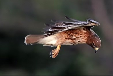 A Beautiful Video of a Red-tailed Hawk Hovering in the Air
