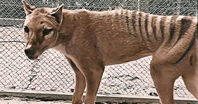 Colorized Footage of the Last Known Tasmanian Tiger