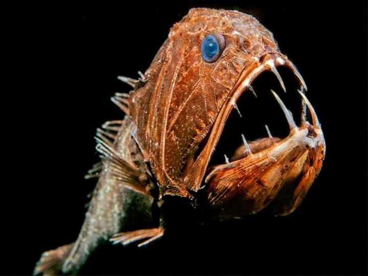 """El Anoplogaster Cornuta o """"Pez con colmillos largos"""", la """"belleza ..."""
