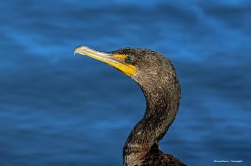 8-10-Cormorant head sign