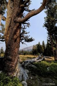 Gnarled pines dot the landscape