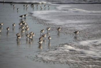 Sanderlings or wave runners