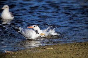 Elegant terns bathing