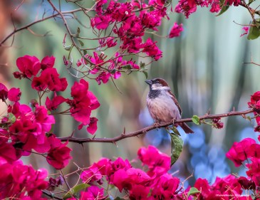 House sparrow singing in splendour