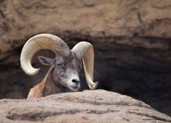 Male Desert Big Horned Sheep