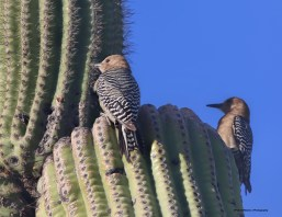 Gila Woodpeckers in their cactus
