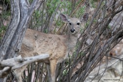Coues deer at the Research Station