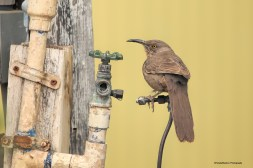 The Faucet-Curve Billed Thrasher