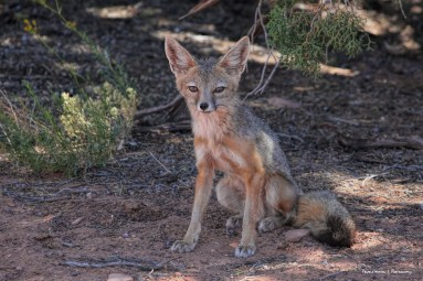 A small visitor in the shade, Kitt Fox