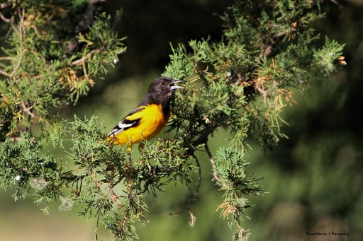 A Baltimore Oriole sings