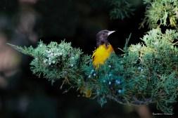 Baltinmore Oriole sits in a cedar tree