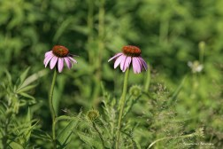 Echinacea in bloom