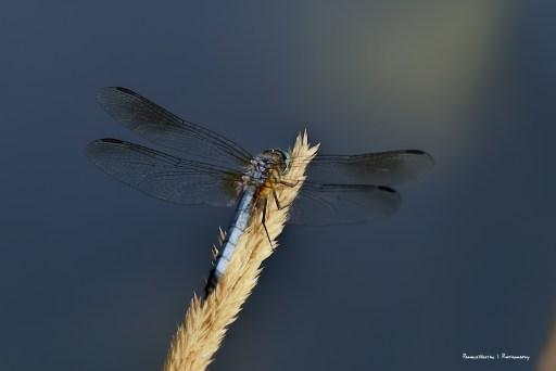 Blue Skimmer