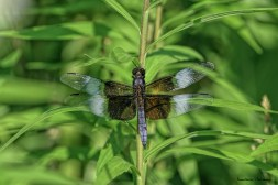 Widow Skimmer in the late light