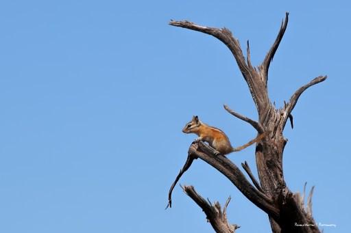 Antelope Squirrel surveying his domain