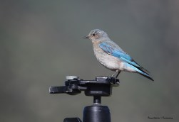 Female Mountain Bluebird putting my tripod to good use