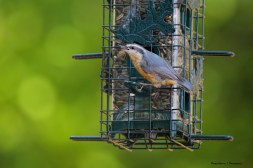 Red Breasted Nuthatch