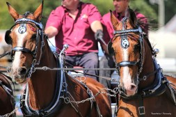 Lovely horses and harness
