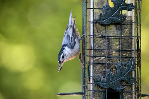 White Breasted Nuthatch with the prize
