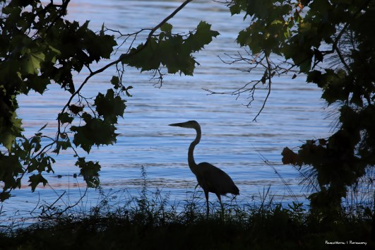 the evening Heron