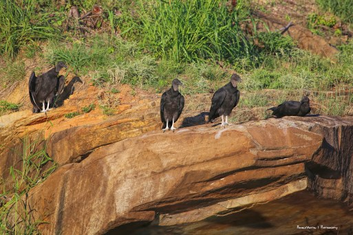 Black vultures, waiting for my demise from the heat;)