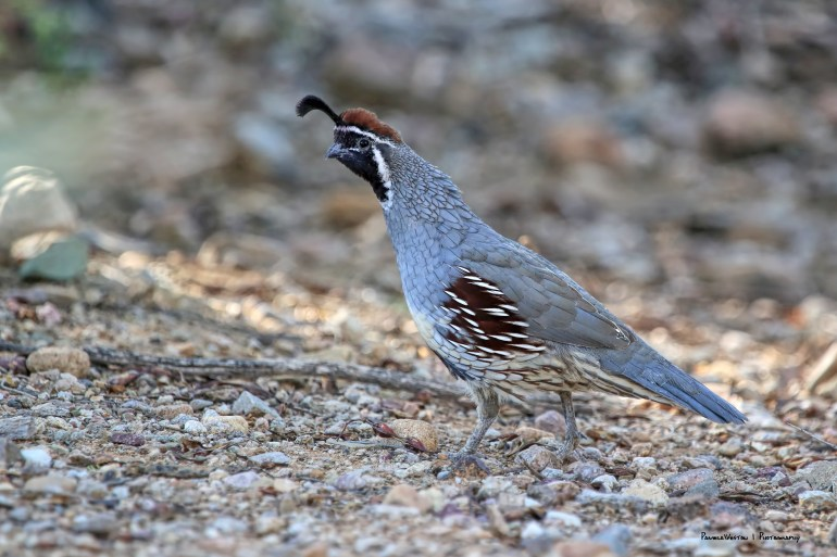 Male Gambels quail, such a lovely sound