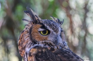 Captive male Great Horned Owl, imprinted on humans, what an amazing creature.
