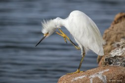 Snowy Egret getting an itch