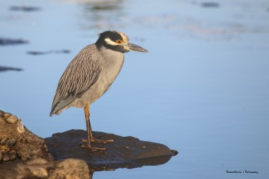 Yellow Crowned Night Heron solemnly staring at the crazy Tri-Coloured Heron