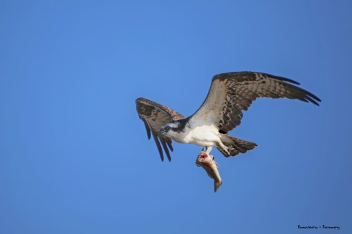 Osprey bringing home lunch, he snacked first