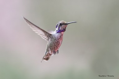 Lovley juvenile Costas hummingbird immediately found my feeder