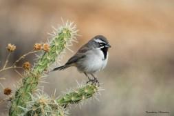 Beautiful Black Throated Sparrow