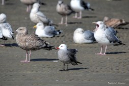 Heerman's Gull-looks like I was boring the guy in the back;)