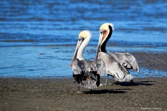 A pair of American Brown Pelicans