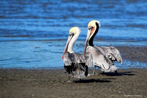 A pair of American Brown Pelicans