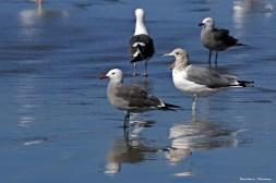 Heerman's Gulls