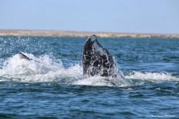 Lot's of splashing in whale sex