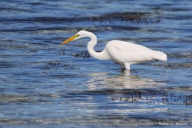Great Egret patiently hunting
