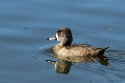 Mrs. Ring Necked Duck