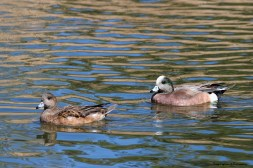 Mrs. and Mr. American Widgeon