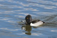 Mr. Ring Necked Duck, why not Tuxedo duck;)