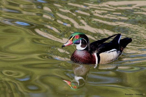 The glorious Mr. Wood Duck