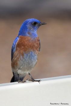 Mr. Western Bluebird
